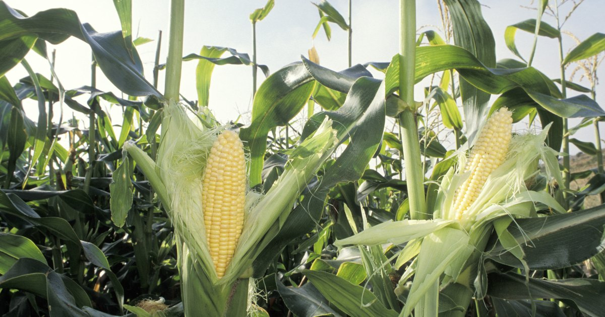 Is corn good for a low carb diet?