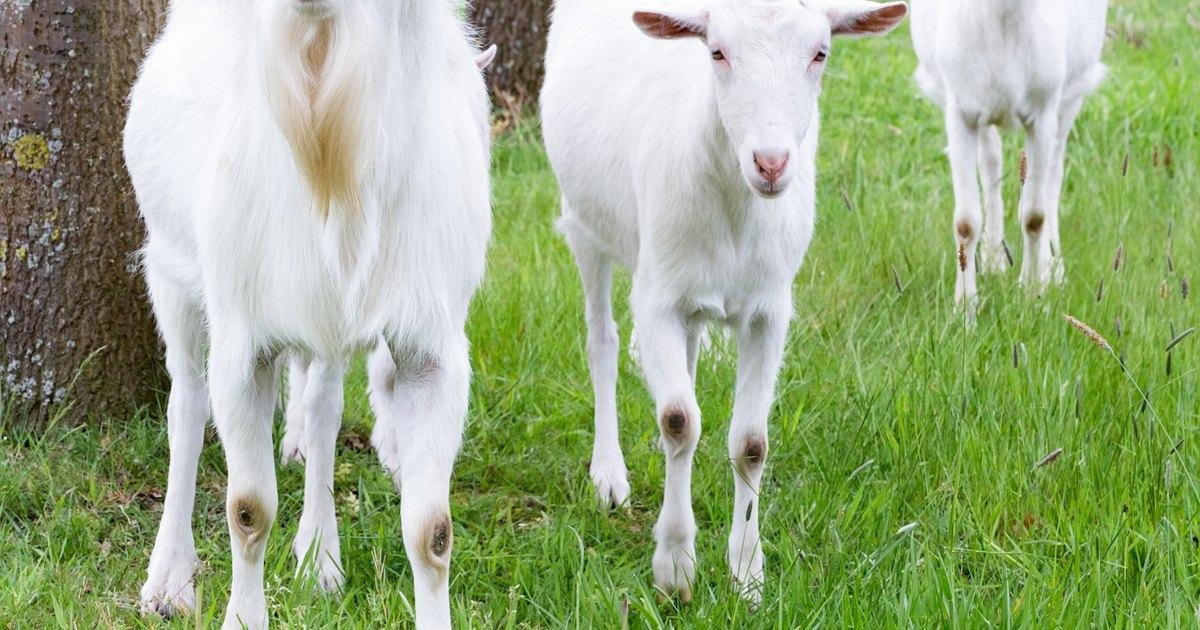 osmanabadi goat weight loss
