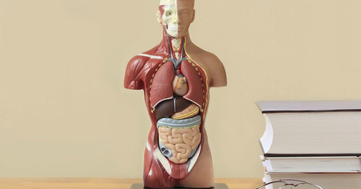 Groß Netzfänger Atlas Der Menschlichen Anatomie Fotos - Anatomie ...