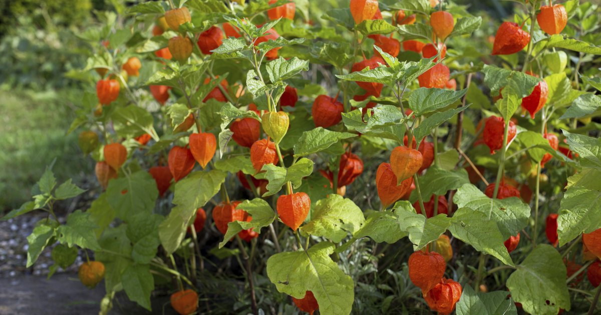 How to Eat Chinese Lantern Berries