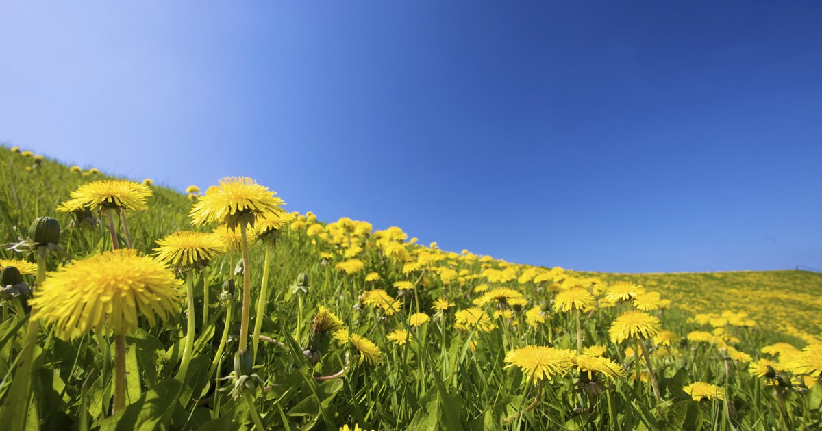 an information on dandelion Dandelion herb nutrition facts dandelion herb, revered since earlier times, is one of the most sought-after herbs to enliven your daily meals almost all the parts of the plant leaves, flower tops, and root found use as culinary greens or as a curative remedy for certain medical ailments.
