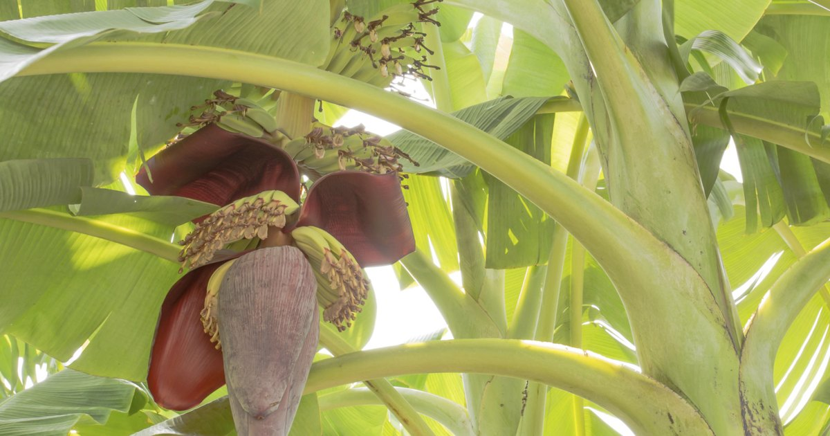 Benefits of Red Bananas
