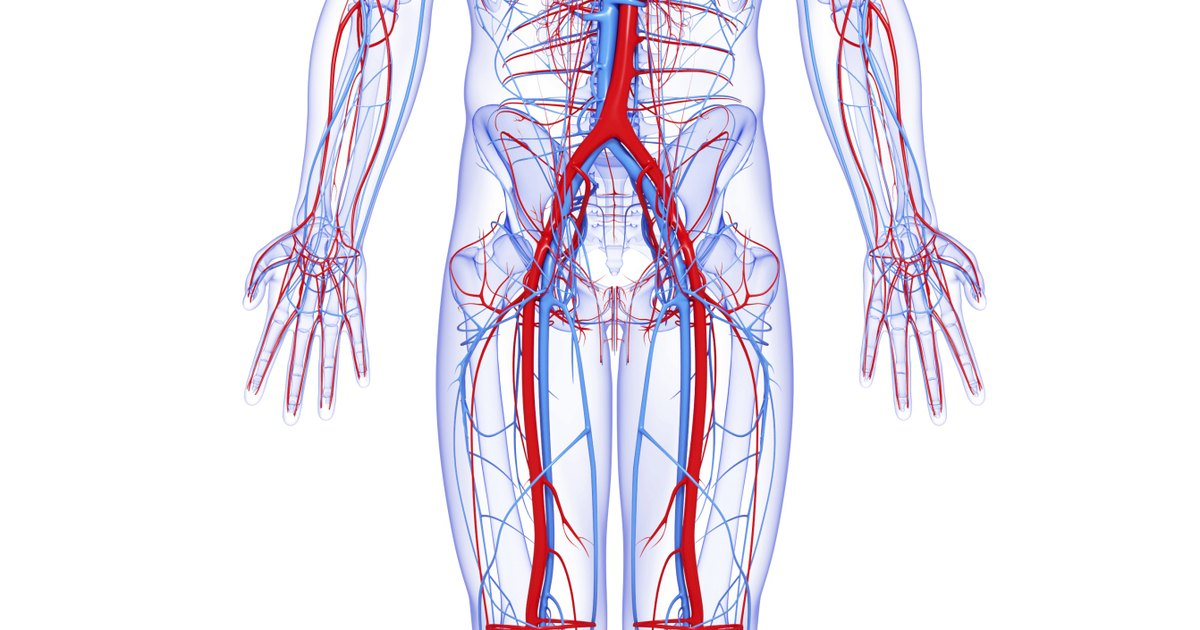 What Are the Largest Blood Vessels in the Body? | LIVESTRONG.COM