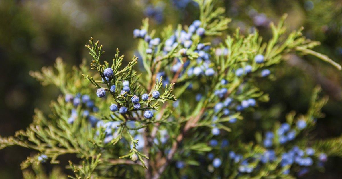 Juniper berries nutrition