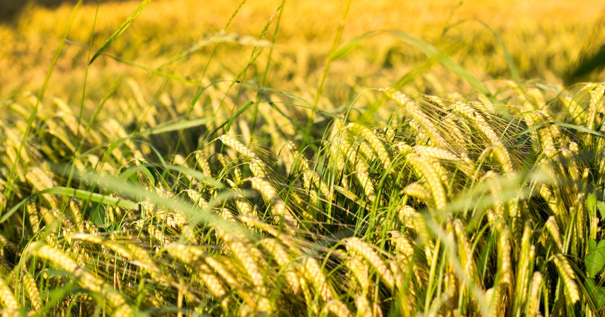 Does Barley Grass Help Prevent Cancer
