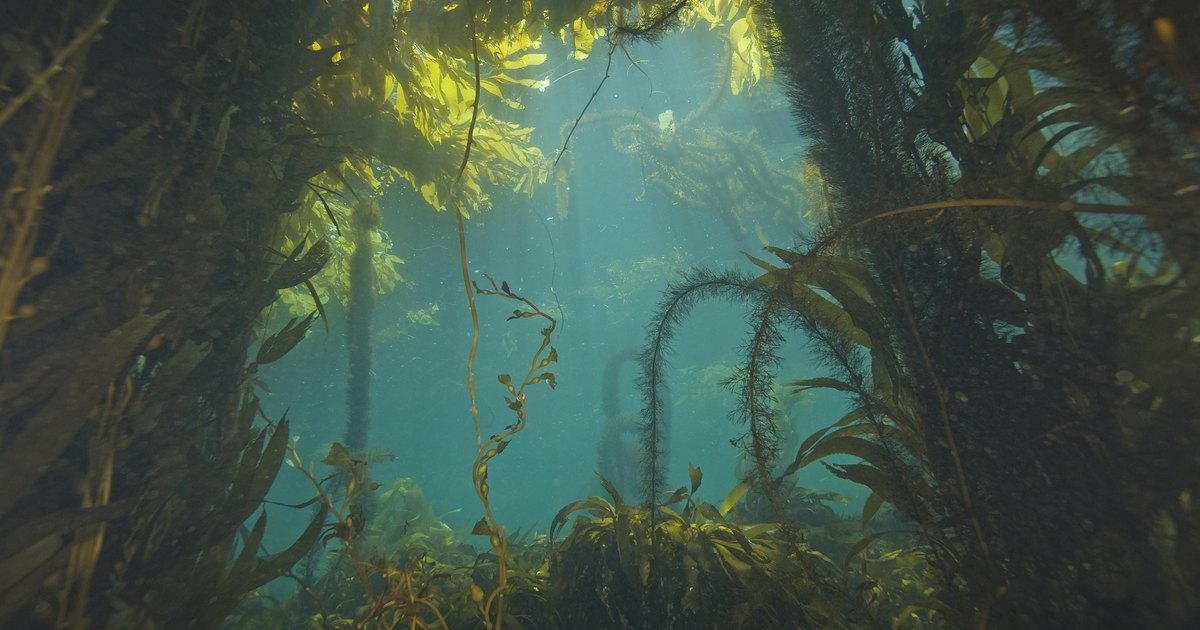 What is sea kelp good for