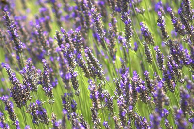 Lavender oil might help to remove scar tissue.