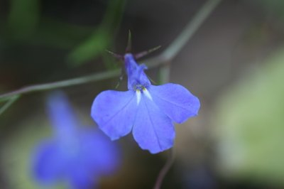 Lobelia may help to dilate your airway passages and reduce bronchial spasms.