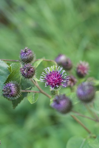 Burdock may help heal eczema.