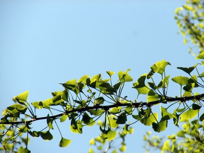 Ginkgo biloba extract can help to treat asthma symptoms.