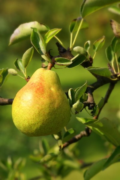 Companion Planting for Pear Trees