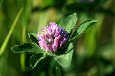 What Are the Benefits of Red Clover Tea?