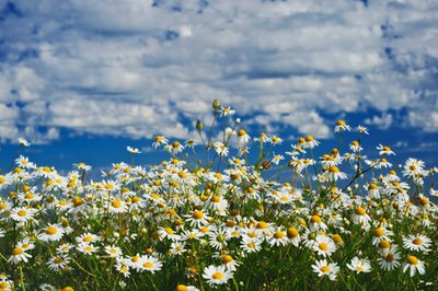 Chamomile oil is extracted from the flowers of the plant.