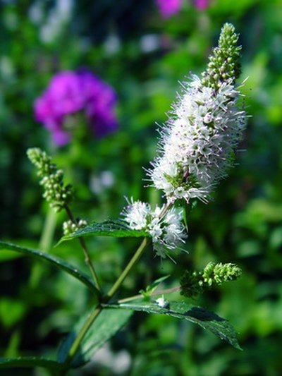 Spearmint Essential Oil Benefits