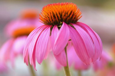 Echinacea is a natural antibiotic.
