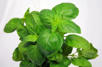 Basil Herbal Oil Treats Dizzy Spells