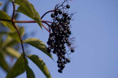 What Are the Health Benefits of Elderberry?