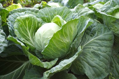 How to Apply Raw Cabbage Leaves for the Relief of Joint Pain