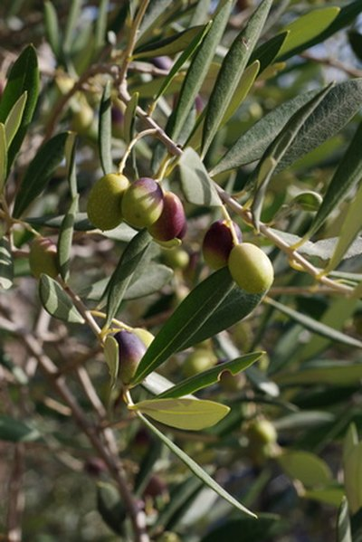 olive tree leaves olive allergy symptoms livestrong 1179