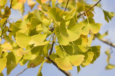 Is a High Dosage of Ginkgo Biloba Safe?