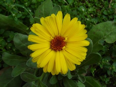 Calendula cream may have anti-inflammatory and immunomodulating effects.