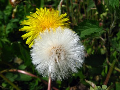 Dandelion increases bile production in the gallbladder.