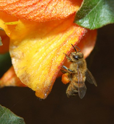 A bee collects nectar to make honey.