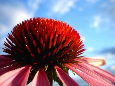 Echinacea has antibiotic action.