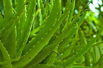Aloe Vera & Stomach Problems