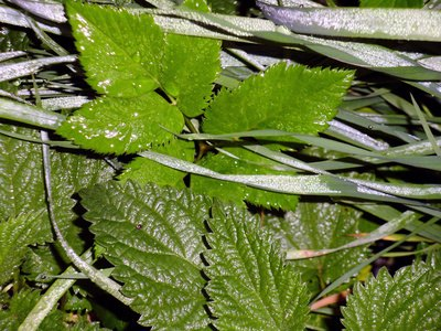 Nettle Leaf Benefits