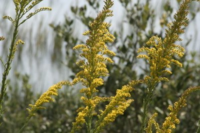 Goldenrod is used as a diuretic.