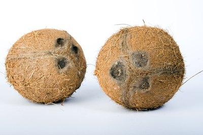 Coconuts grow in tropical climates on palm trees.