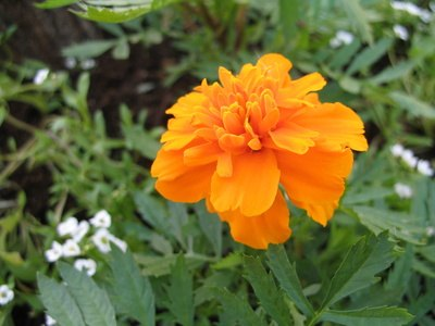Calendula, or marigold, is a topical herbal remedy for cellulitis.