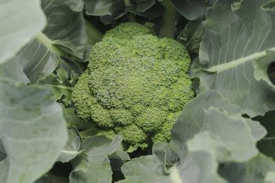 Why You Should Eat Raw Broccoli
