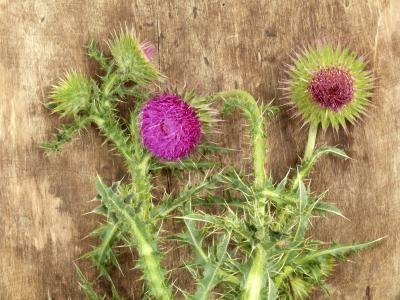 Milk thistle contains silymarin.