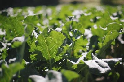 Collard greens are a delicious leafy green vegetable.