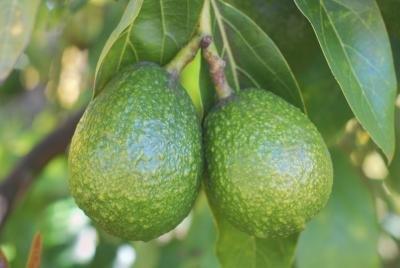 Avocado Fat Grams 107