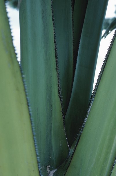 Side Effects of Topical Aloe Vera