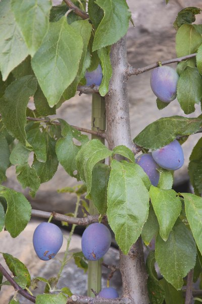 The Nutrition in Organic Prune Juice