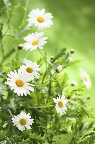 How to Rub Chamomile Tea on Acne Scars