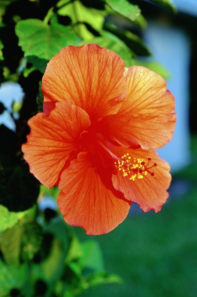Can Hibiscus Tea Be Made From Any Hibiscus Plants?