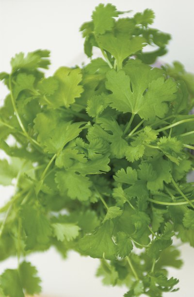 Cilantro Tea Health Benefits
