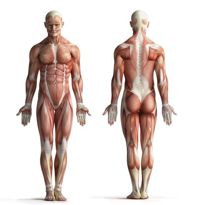 The Purposerole Of Muscles In The Body Livestrong