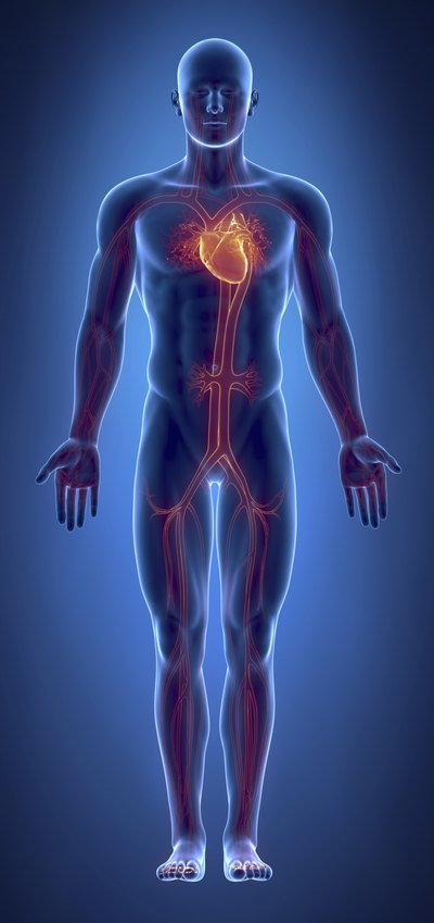 What Are The Organs Of The Cardiovascular System Livestrong