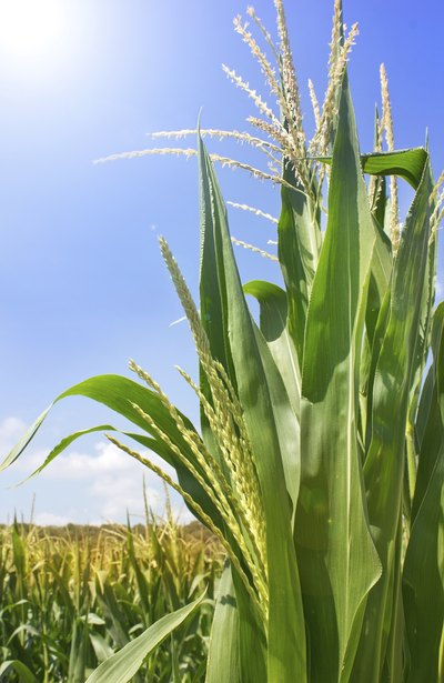 Bt Corn: Advantages & Disadvantages