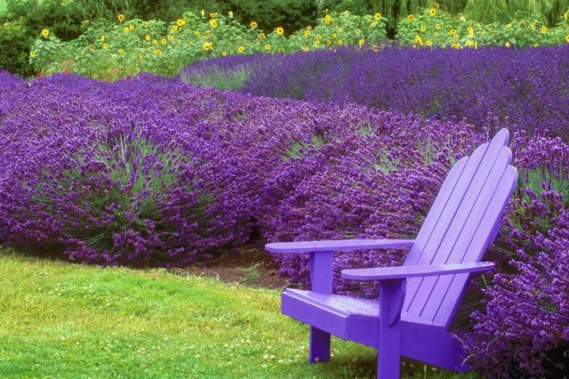 lavender companion plants livestrong com. Black Bedroom Furniture Sets. Home Design Ideas