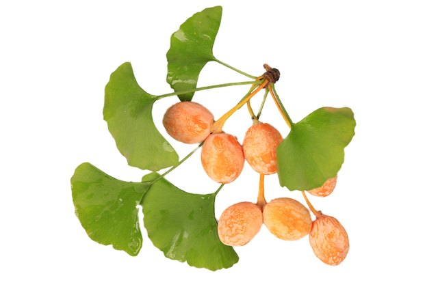 Ginkgo biloba nuts contain the same rash-inducing oil as poison oak.