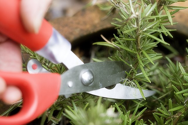 How to Cut Fresh Rosemary
