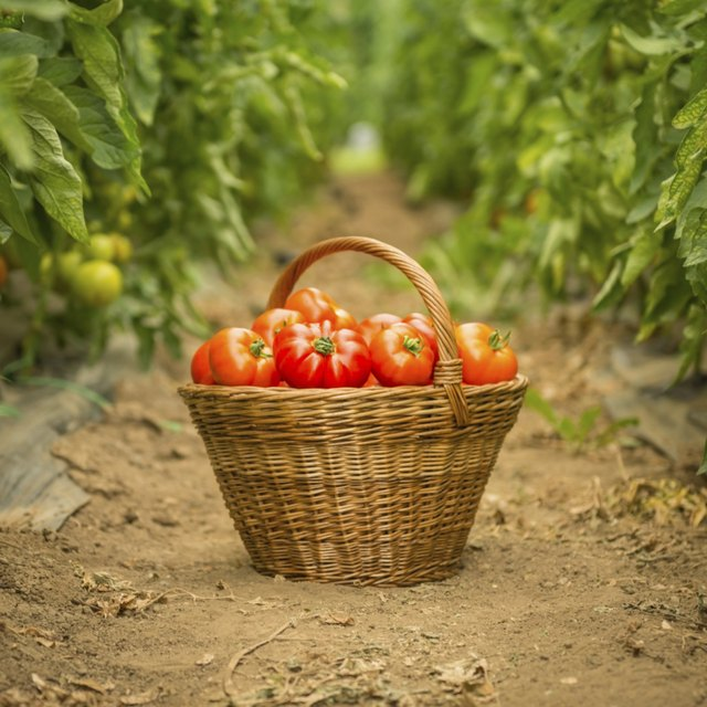 Basket of tomatoes on soil