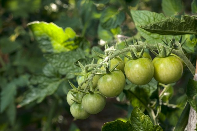 vine of green tomatoes